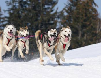 jackson hole sled dog tour