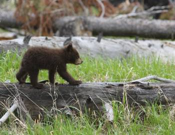 bear cub yellowstone national park