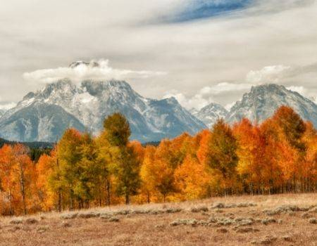Orange and yellow aspen trees in front of Grand Tetons in Jackson Hole