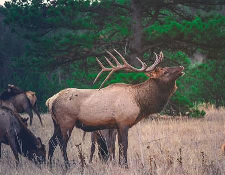 Male elk in grass next to herd of female elk in Jackson Hole