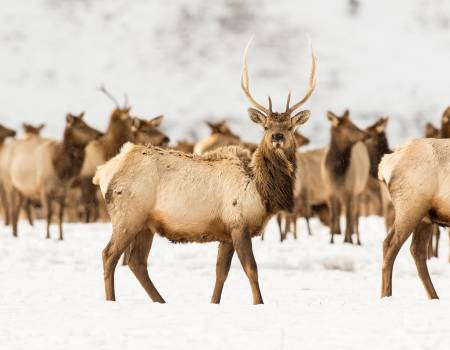 Bull Elk In National Elk Refuge In Winter