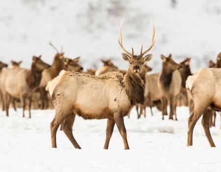 Bull Elk In National Elk Refuge In Winter