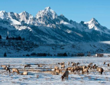 Elk grazing in snow in front of Grand Tetons in Jackson Hole.
