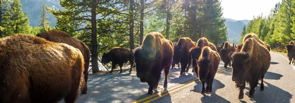 bison-herd-walking-in-yellowstone