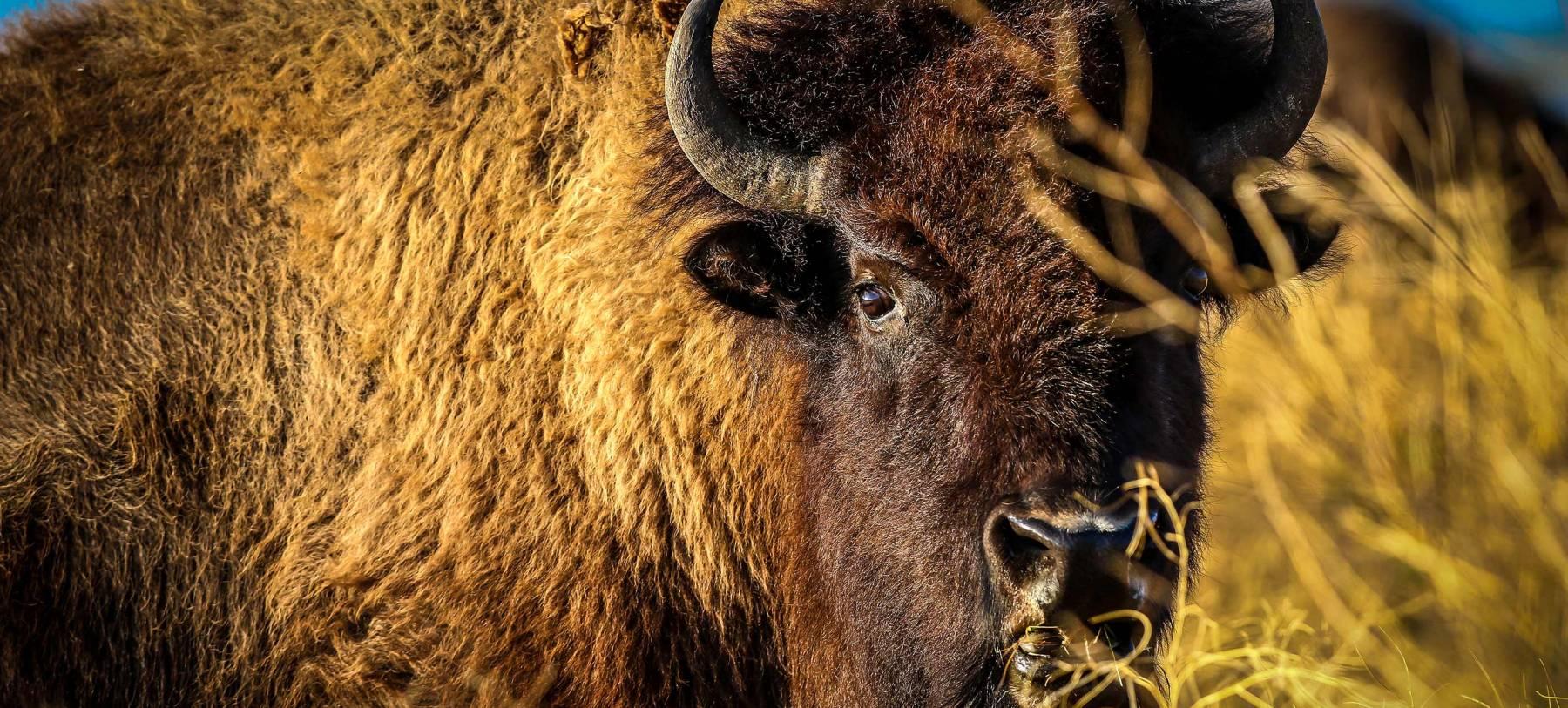 Buffalo In Autumn In Grand Teton National Park
