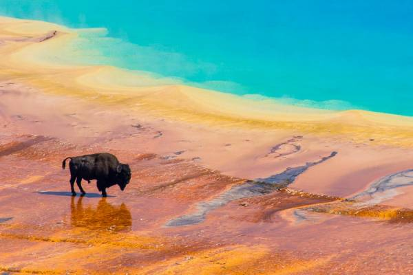 Bison At Grand Prismatic Spring