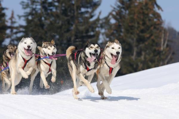 jackson hole sled dog tour