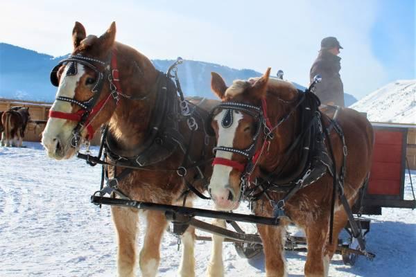 elk_refuge_sleigh_rides_horses