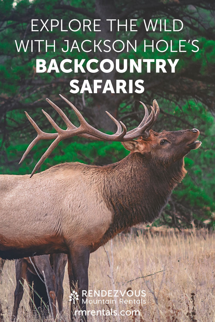 """Male elk in grass, overlay text reads: """"Explore the wild with Jackson Holes' Backcountry Safaris."""""""