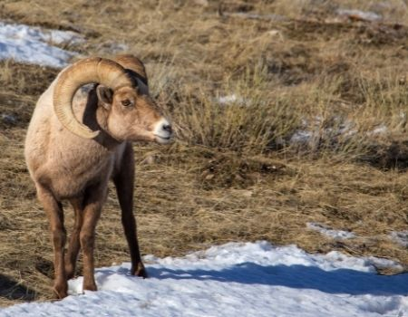 Big Horn Sheep standing in grassy field in Jackson Hole