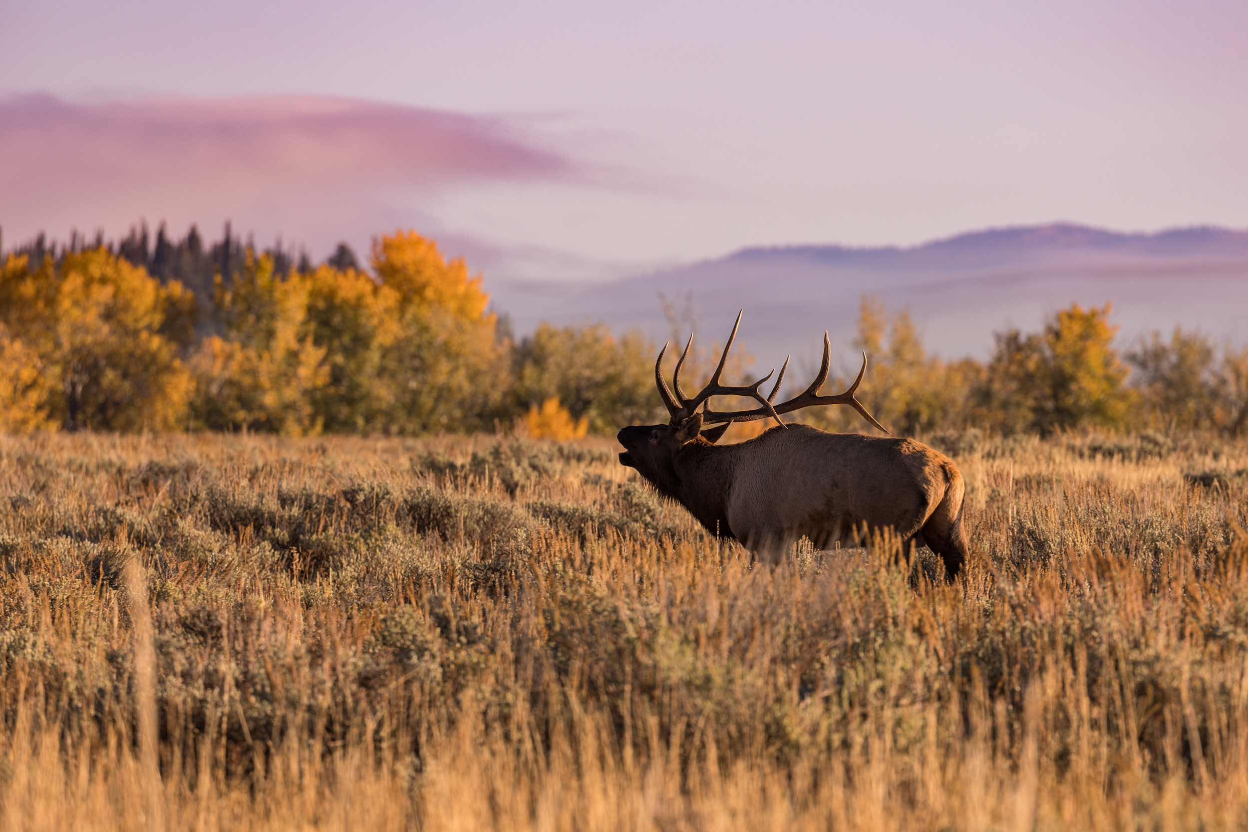 Bull Elk Bugling During Fall Autumn Rut