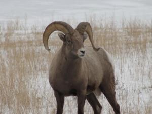 bighorn sleep elk refuge
