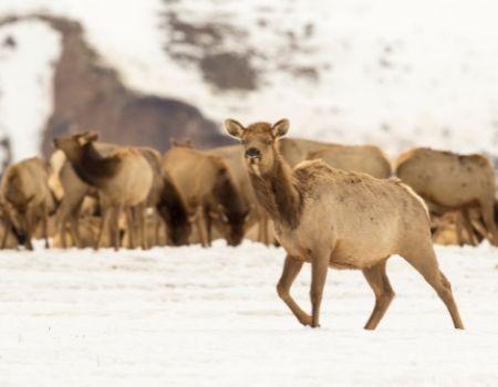 Elk grazing in snowy winter Jackson Hole Elk Refuge.