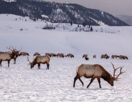 Elk walking through winter snow in Jackson Hole Elk Refuge