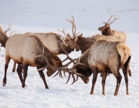 Male elk locking antlers in snowy winter in Jackson Hole.