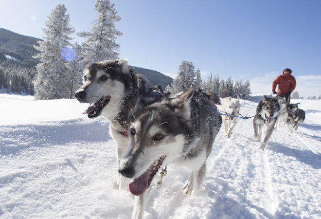 jackson hole iditarod sled dog